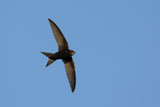 Swift in flight on blue sky background - 158843665