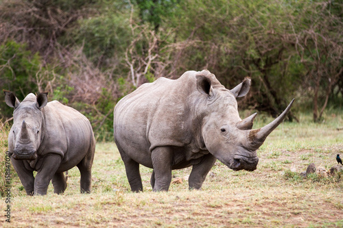 White Rhinoceros aka square lipped rhino