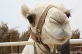 Kamel frontal mit Geschirr