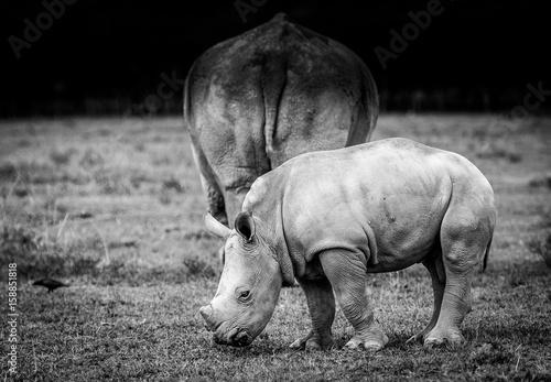 Aluminium Neushoorn White Rhino in Lake Nakuru, Kenya