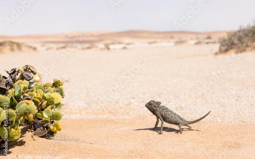 Fotobehang Kameleon Namaqua Chameleon, Swakopmund, Namibia