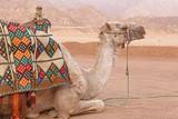 close up of camel at Sinai mountains
