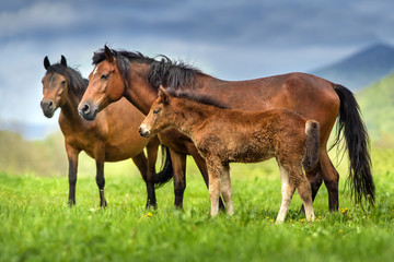 Mare and foal in herd against beautiful mountain valley at spring day