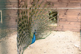 Beautiful peacock is in the zoo outdoors