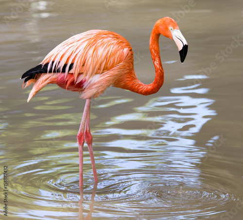 Pink flamingo on a pond in nature