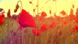 Poppy flowers field. Rural landscape with red  blooming poppies. Slow motion video footage 4K UHD video 3840X2160