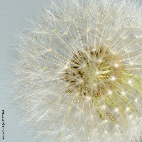 Fotobehang Paardebloemen Dandelion seeds close-up