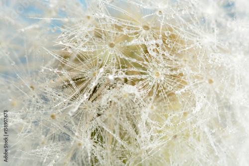 Drops of dew on a dandelion © Ramil Gibadullin