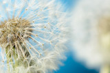 Two dandelions on blue background