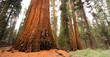 Giant Ancient Sequoia Tree Kings Canyon National Park