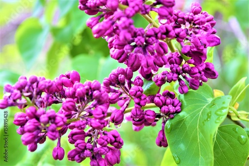 Lilac in Ontario