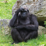 Gorilla sitting and thinking
