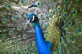 The exotic bird is a peacock with an open tail on a summer day. Indian peacock. An ordinary peacock.