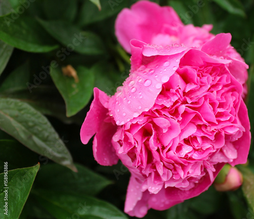 Fotobehang Roze Pink peonies on a green background.