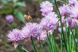 Fliegende Honig Biene mit blühende Schnittlauch Blüten - 158979428