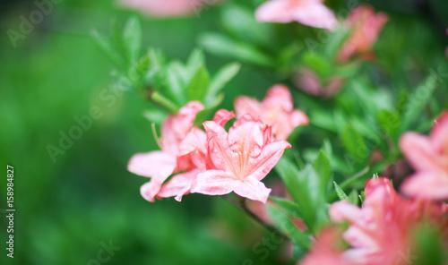 Aluminium Azalea Beautiful flowering azalea