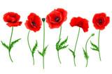 Red Poppy flower isolated on white background, vector illustration, EPS 10. - 158985005