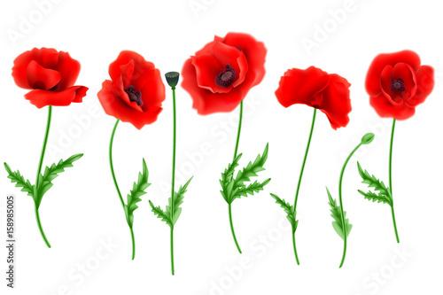 Fototapeta Red Poppy flower isolated on white background, vector illustration, EPS 10.