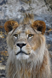 Close up portrait of young male African lion