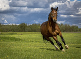 Running on the meadow bay horse on a background of clouds sky