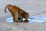 Monkey in Kathmandu, Nepal