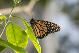 Butterfly 2017-57 / Monarch on a leaf
