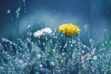 Dandelion and Daisy in the rain against a blue background. Beautiful work of art. Selective soft focus.