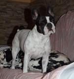 Bulldog francés, Luna
