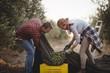 Man and woman collecting olives in crates at farm