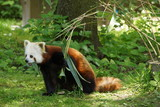 Kleiner Panda (Ailurus fulgens) frisst Bambusblätter