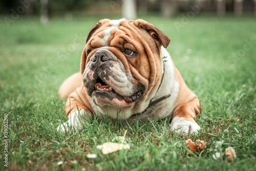 English bulldog lying in the grass..