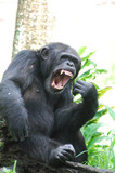 Chimpanzee with His Mouth Wide Open