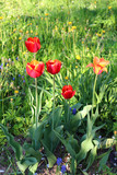 Multicolored tulips against the background of grass in the park