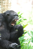 Side View of a Chimpanzee with His Mouth Open