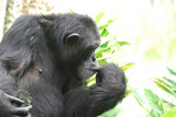 Funny Chimpanzee Kissing His Own Hand