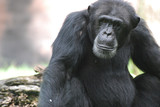 Beautiful Look at a Chimpanzee with a Solemn Look on His Face - 159111827