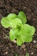 Giovane pianta di Lattuga nell'orto