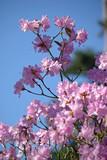 Azalée rose au printemps au jardin