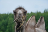 Bactrian camel chews the straw