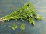 A bunch of fresh cilantro. - 159133288