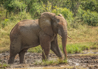 Young african savannah elephant  bull at a waterhole spraying mud on his body as sun protection at the Hluhluwe iMfolozi Park