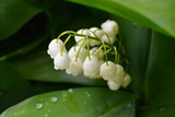 Lily of the valley, spring flowers with a beautiful aroma.