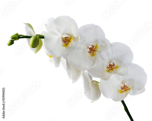 Delicate orchid branch blossoming with large white flowers isolated on white background. Blooming twig of Phalaenopsis orchid flower. - 159144423