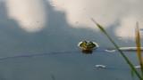 Frosch im Wasser, herausguckend