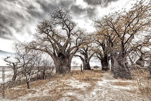 Deurstickers Baobab Baines Baobabs