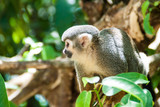 Squirrel monkey at Ile Royale, one of the islands of Iles du Salut (Islands of Salvation) in French Guiana