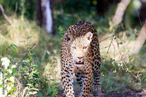 Leopard, Kruger National Park Poster
