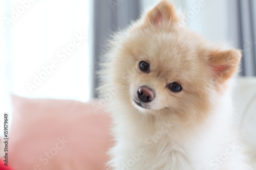 question face of pomeranian dog