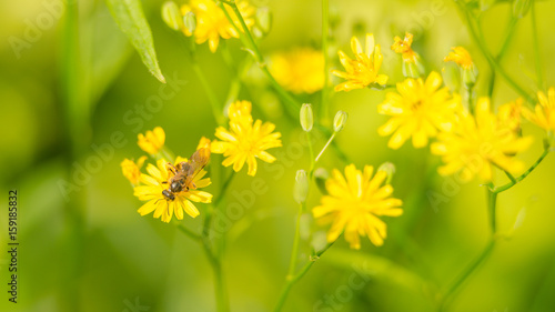 Beautiful green, yellow garden flowers and bee collects nectar in summer in the sun