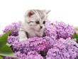 Kitten in lilac.